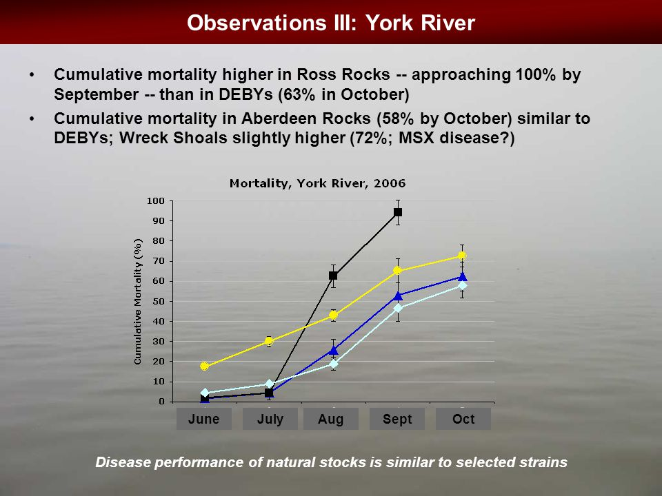 Observations III: York River OctSeptAugJulyJune Cumulative mortality higher in Ross Rocks -- approaching 100% by September -- than in DEBYs (63% in October) Cumulative mortality in Aberdeen Rocks (58% by October) similar to DEBYs; Wreck Shoals slightly higher (72%; MSX disease?) Disease performance of natural stocks is similar to selected strains