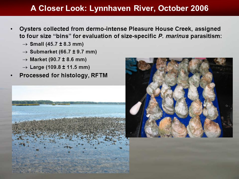 "A Closer Look: Lynnhaven River, October 2006 Oysters collected from dermo-intense Pleasure House Creek, assigned to four size ""bins"" for evaluation of"