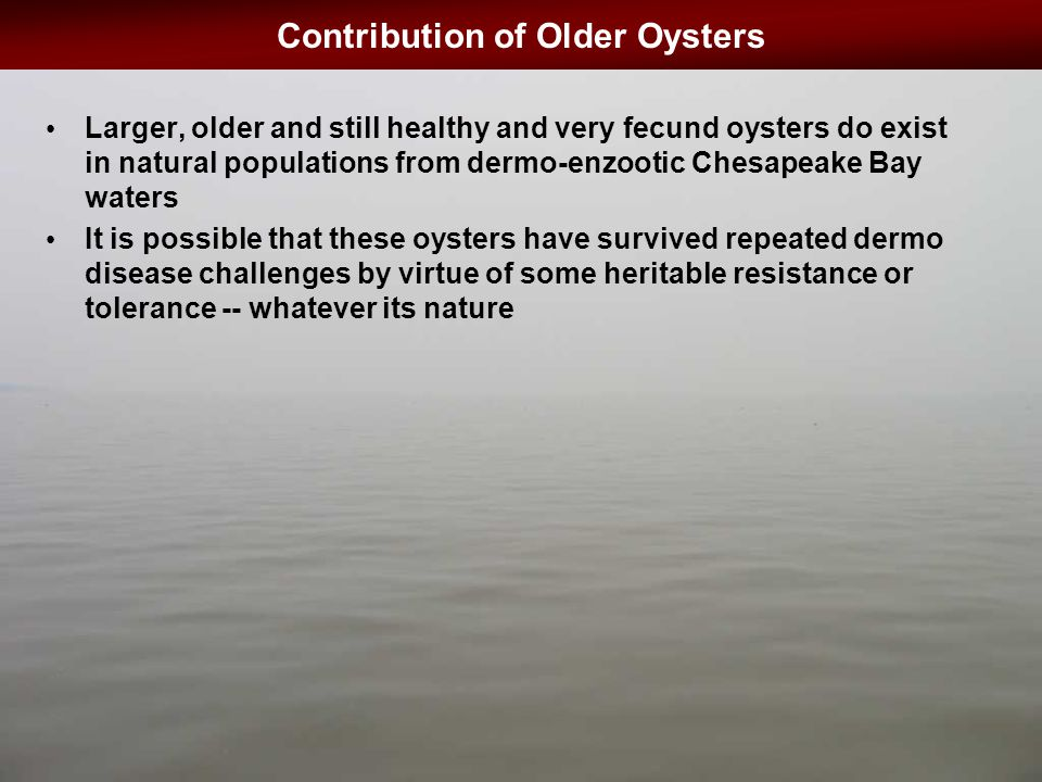 Contribution of Older Oysters Larger, older and still healthy and very fecund oysters do exist in natural populations from dermo-enzootic Chesapeake Bay waters It is possible that these oysters have survived repeated dermo disease challenges by virtue of some heritable resistance or tolerance -- whatever its nature