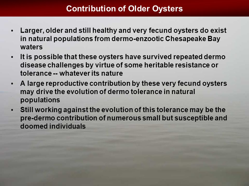 Contribution of Older Oysters Larger, older and still healthy and very fecund oysters do exist in natural populations from dermo-enzootic Chesapeake Bay waters It is possible that these oysters have survived repeated dermo disease challenges by virtue of some heritable resistance or tolerance -- whatever its nature A large reproductive contribution by these very fecund oysters may drive the evolution of dermo tolerance in natural populations Still working against the evolution of this tolerance may be the pre-dermo contribution of numerous small but susceptible and doomed individuals
