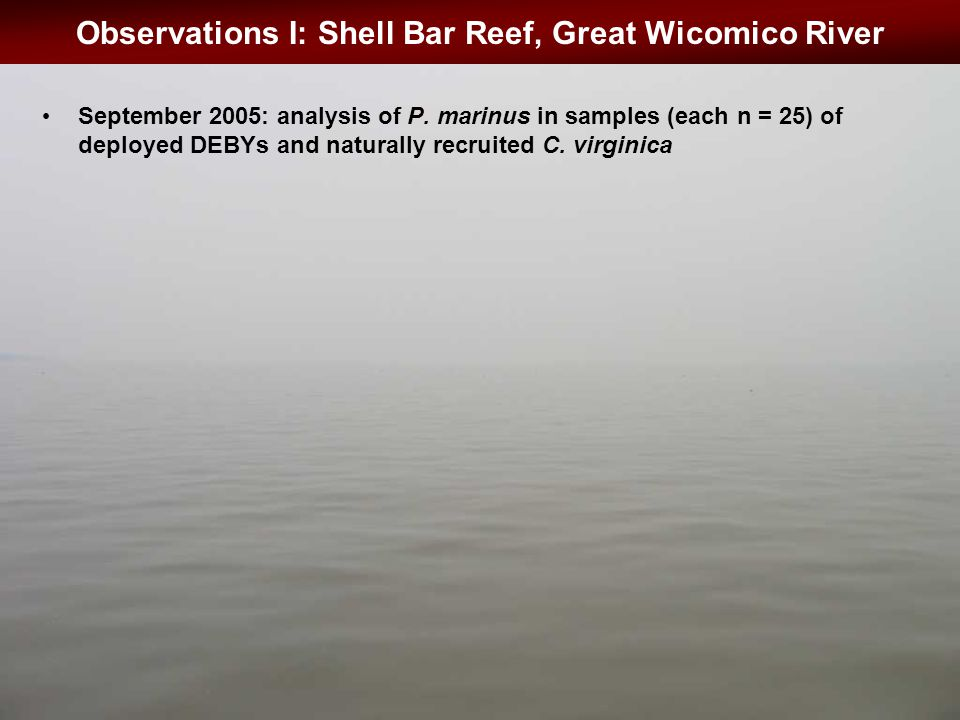 Observations I: Shell Bar Reef, Great Wicomico River September 2005: analysis of P.