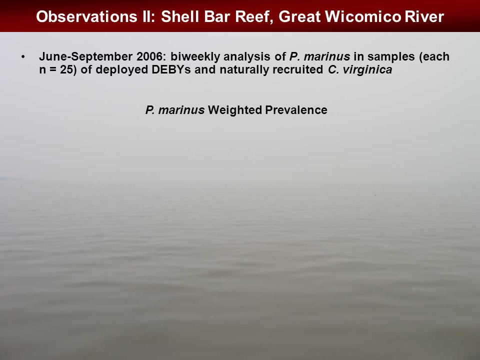 Observations II: Shell Bar Reef, Great Wicomico River June-September 2006: biweekly analysis of P.