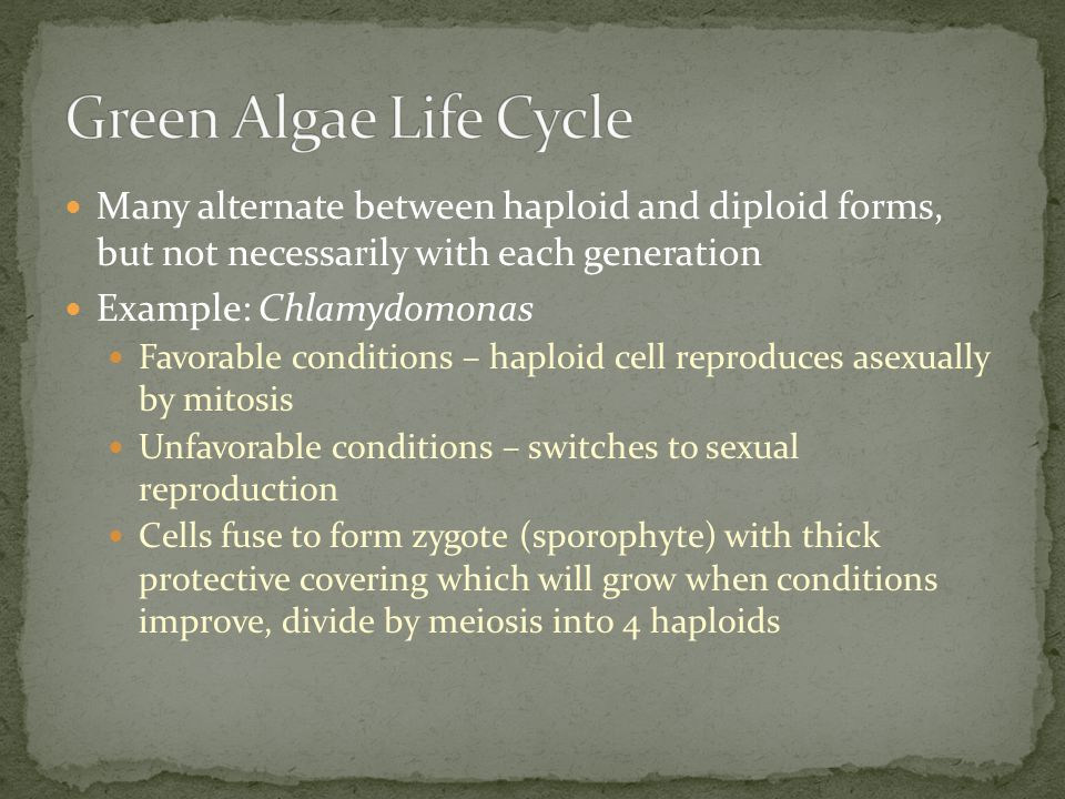 Many alternate between haploid and diploid forms, but not necessarily with each generation Example: Chlamydomonas Favorable conditions – haploid cell reproduces asexually by mitosis Unfavorable conditions – switches to sexual reproduction Cells fuse to form zygote (sporophyte) with thick protective covering which will grow when conditions improve, divide by meiosis into 4 haploids