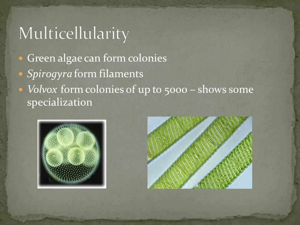 Green algae can form colonies Spirogyra form filaments Volvox form colonies of up to 5000 – shows some specialization