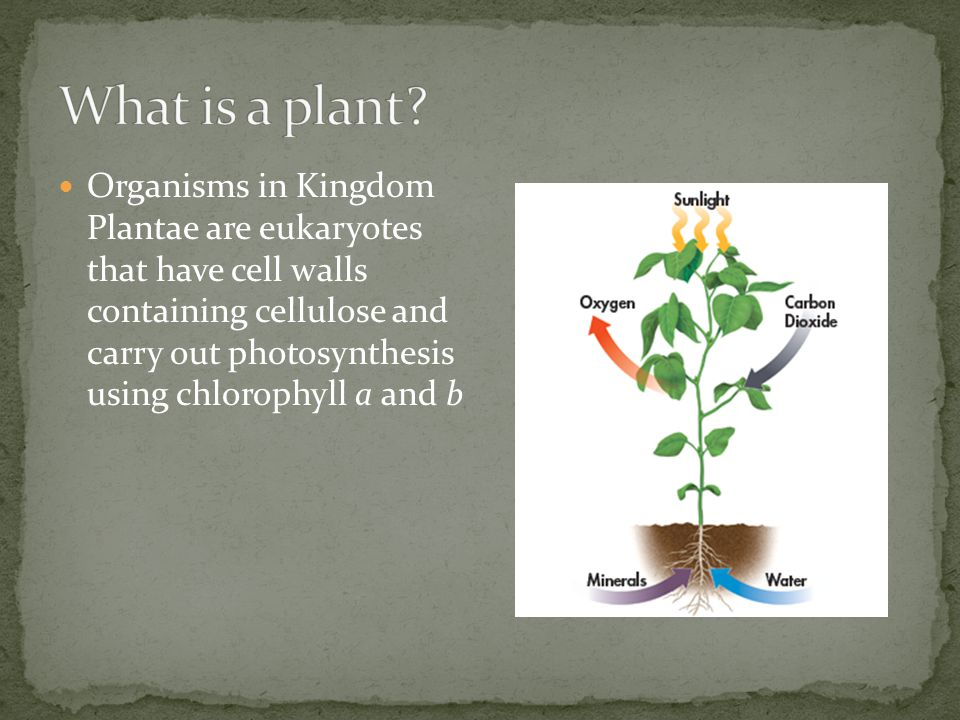 Organisms in Kingdom Plantae are eukaryotes that have cell walls containing cellulose and carry out photosynthesis using chlorophyll a and b