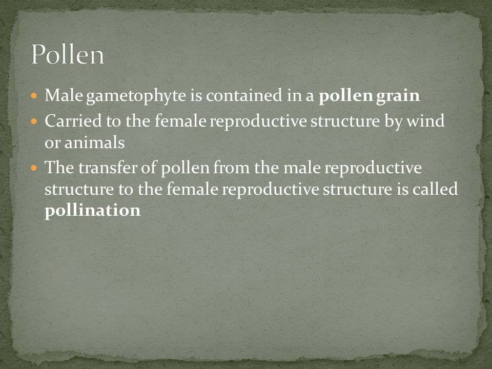 Male gametophyte is contained in a pollen grain Carried to the female reproductive structure by wind or animals The transfer of pollen from the male reproductive structure to the female reproductive structure is called pollination