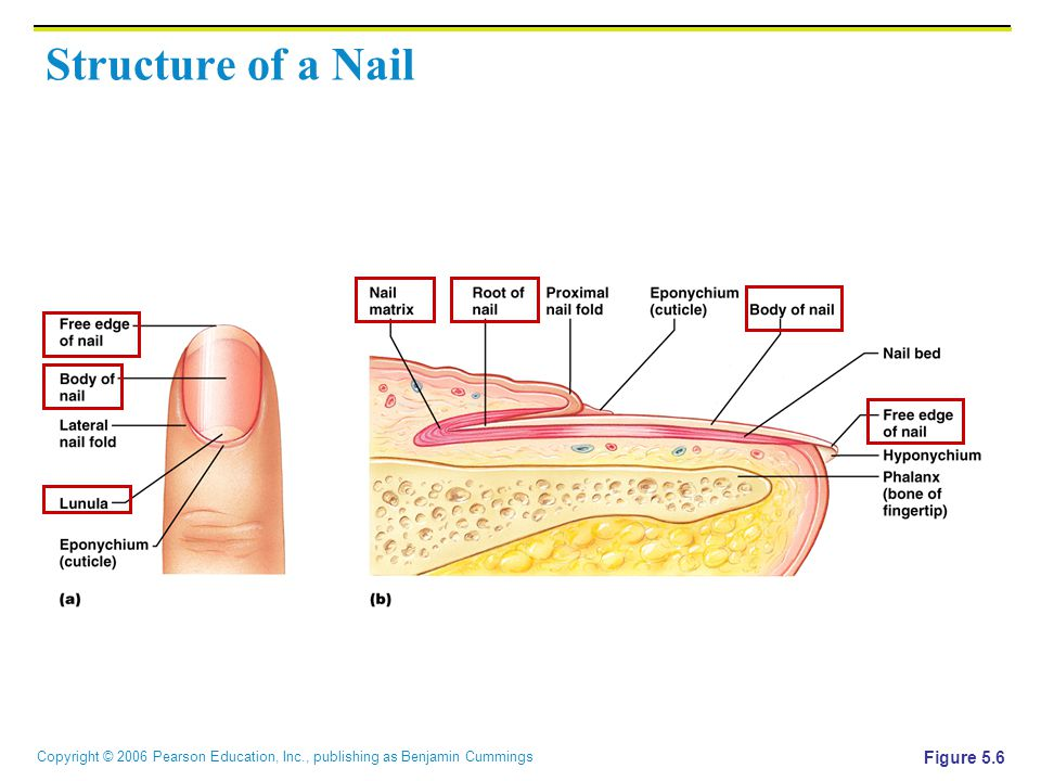 Copyright © 2006 Pearson Education, Inc., publishing as Benjamin Cummings Structure of a Nail Figure 5.6