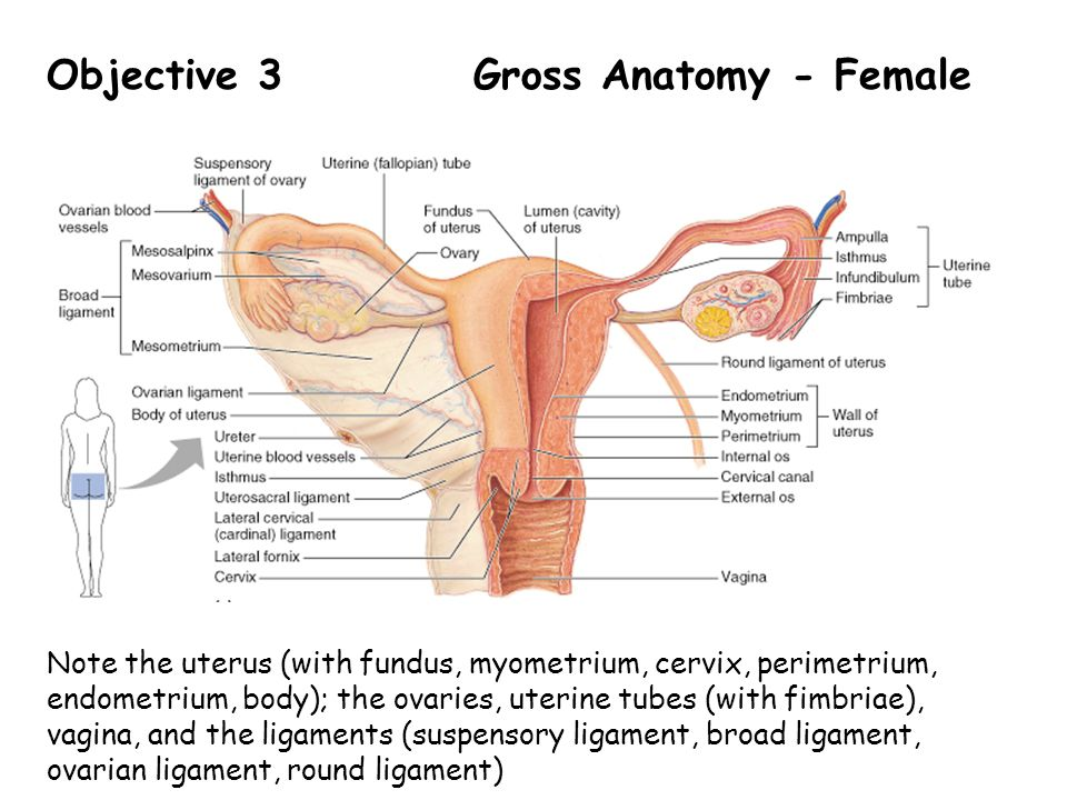 Fantastic Gross Anatomy Of The Uterus Crest - Anatomy And Physiology ...