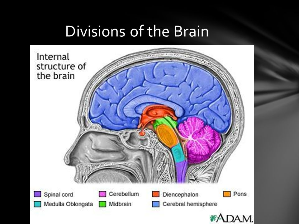 Divisions of the Brain