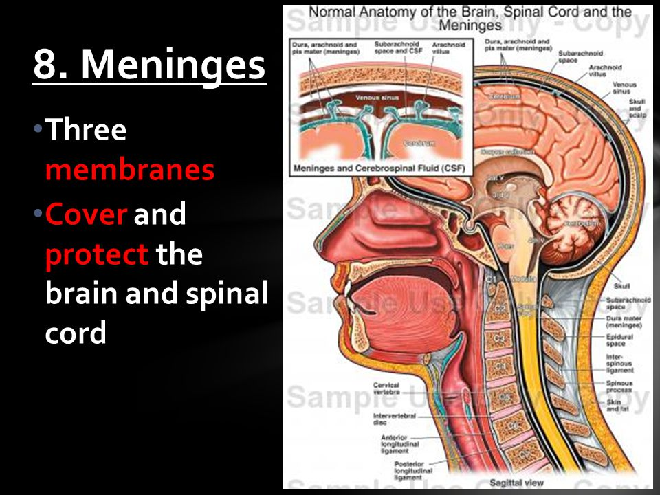 Three membranes Cover and protect the brain and spinal cord 8. Meninges