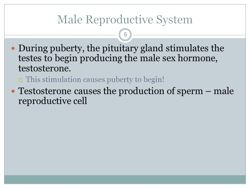 6 During puberty, the pituitary gland stimulates the testes to begin producing the male sex hormone, testosterone.  This stimulation causes puberty t