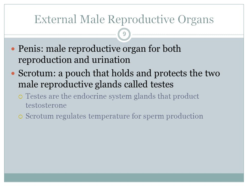 9 Penis: male reproductive organ for both reproduction and urination Scrotum: a pouch that holds and protects the two male reproductive glands called