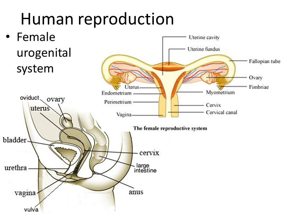 female reproductive system essay