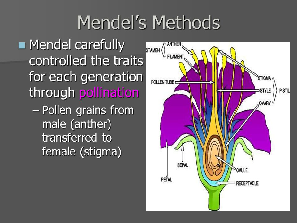 Mendel's Methods Mendel carefully controlled the traits for each generation through pollination Mendel carefully controlled the traits for each generation through pollination –Pollen grains from male (anther) transferred to female (stigma)