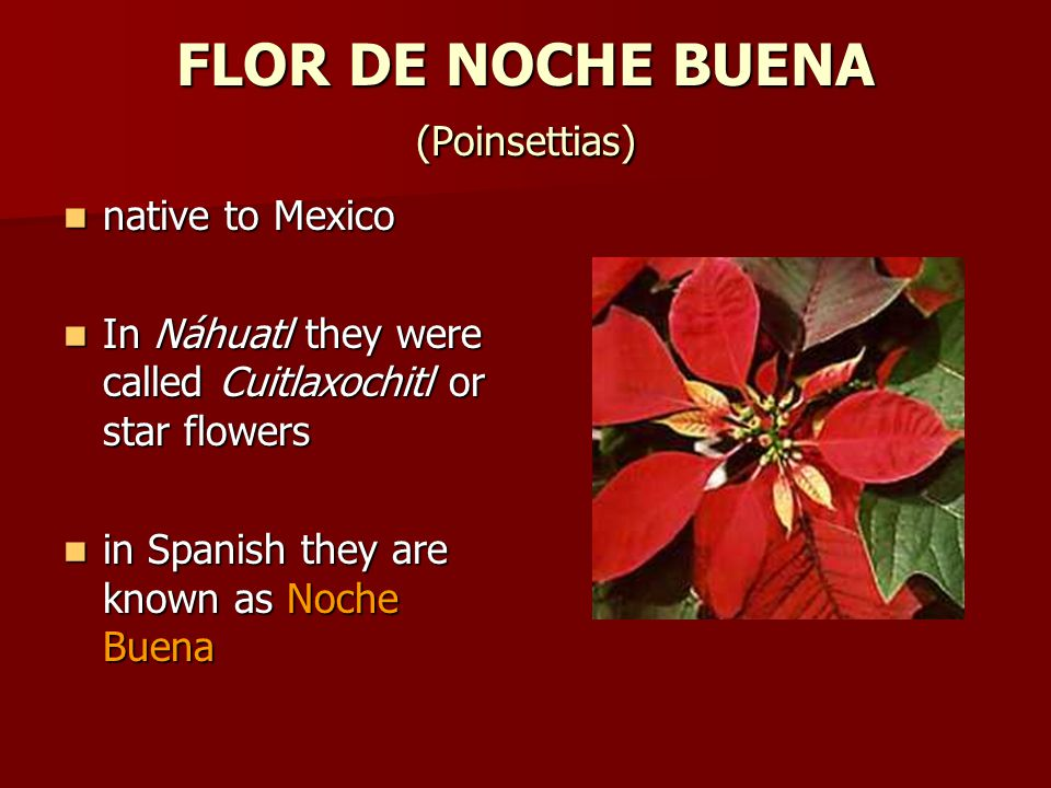 FLOR DE NOCHE BUENA (Poinsettias) native to Mexico native to Mexico In Náhuatl they were called Cuitlaxochitl or star flowers In Náhuatl they were called Cuitlaxochitl or star flowers in Spanish they are known as Noche Buena in Spanish they are known as Noche Buena