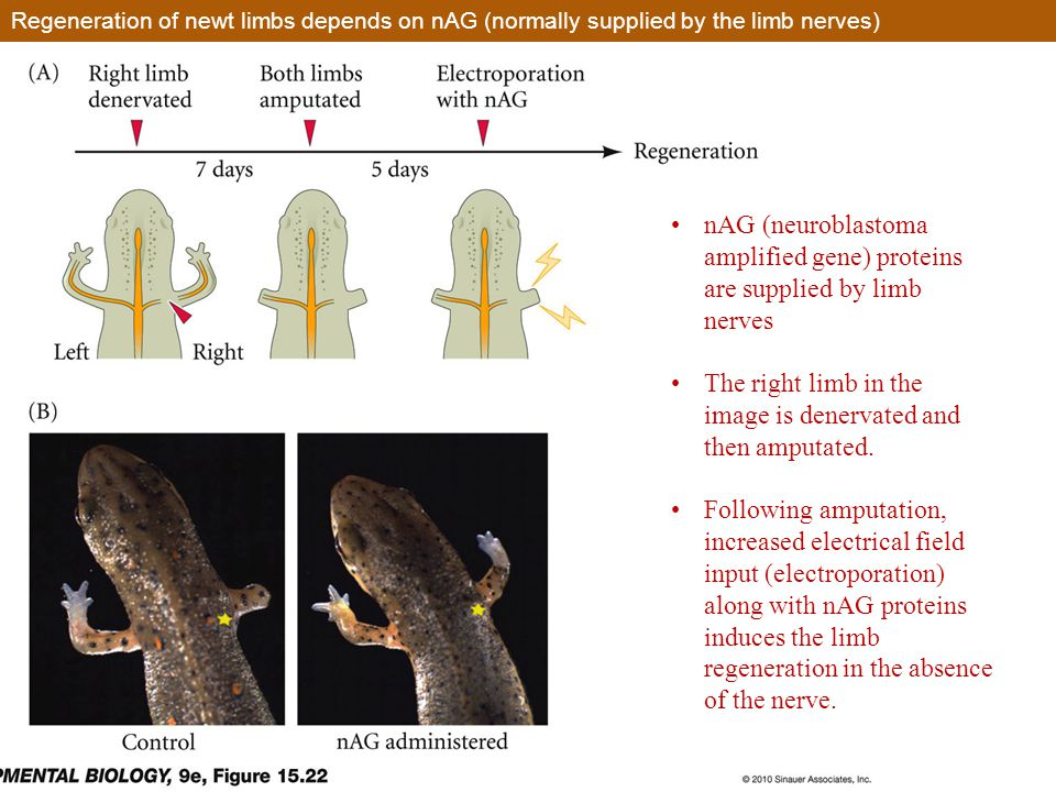 Regeneration of newt limbs depends on nAG (normally supplied by the limb nerves) nAG (neuroblastoma amplified gene) proteins are supplied by limb nerves The right limb in the image is denervated and then amputated.