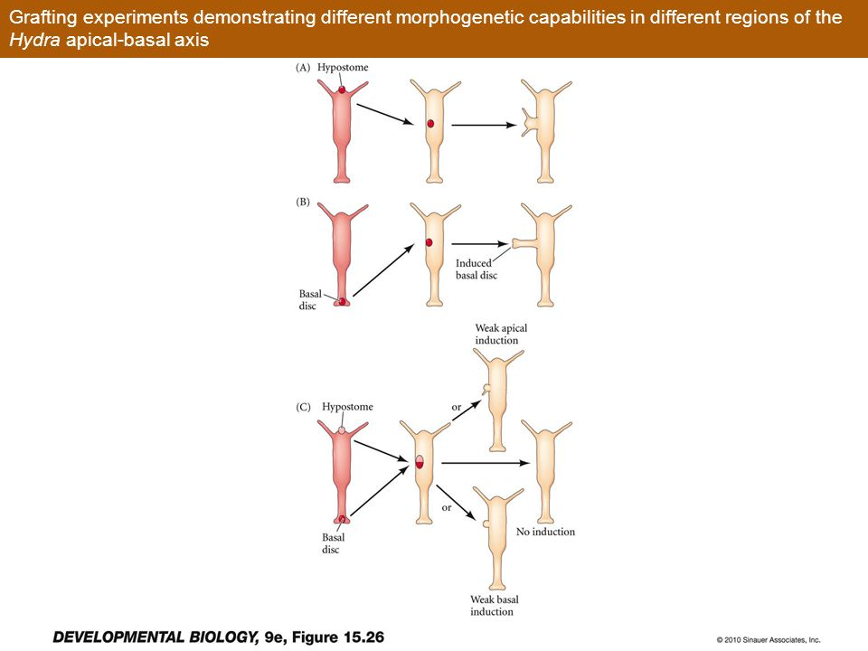 Grafting experiments demonstrating different morphogenetic capabilities in different regions of the Hydra apical-basal axis