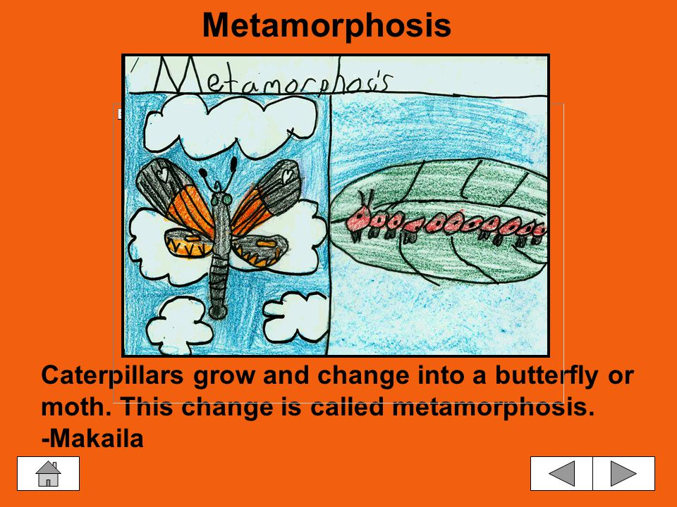 Life Cycle The Life Cycle The Adult The Egg The Moth Pupa The Larva Metamorphosis The Butterfly Pupa