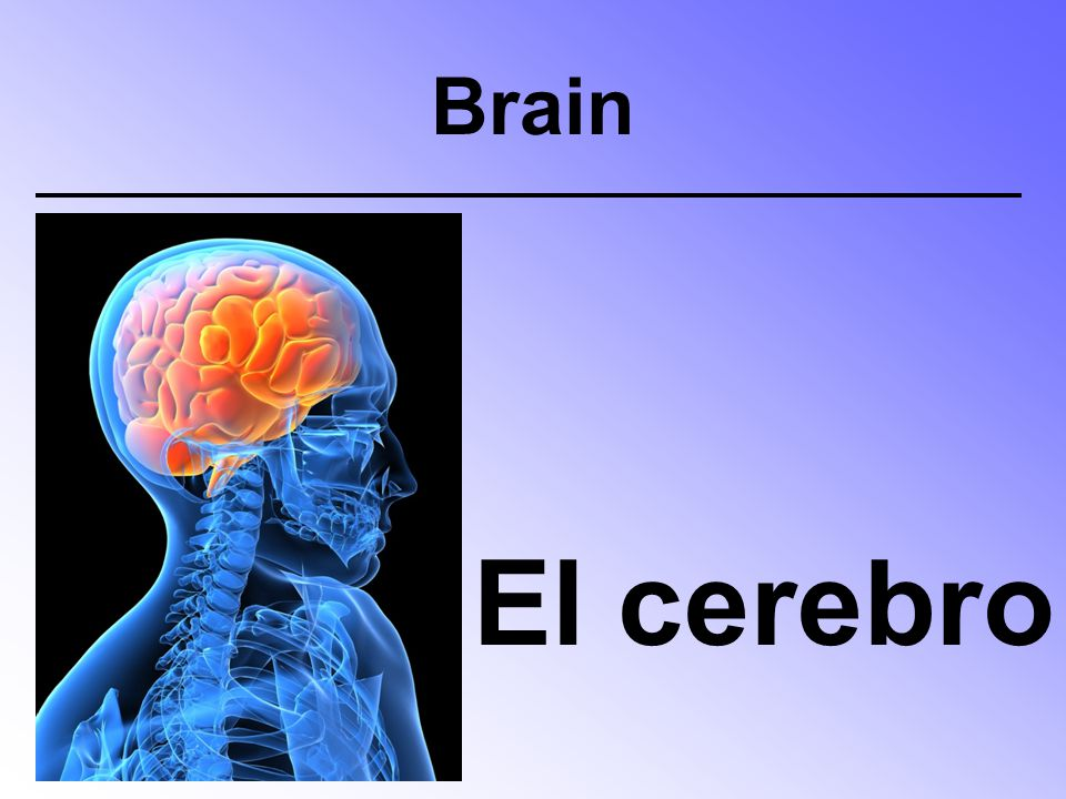 Brain El cerebro