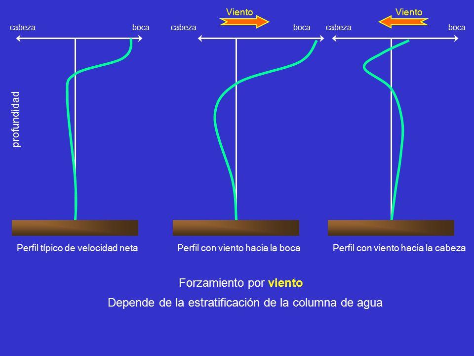 Forzamiento por viento Perfil típico de velocidad neta boca cabeza Perfil con viento hacia la boca boca cabeza Viento Perfil con viento hacia la cabeza boca cabeza Viento profundidad Depende de la estratificación de la columna de agua