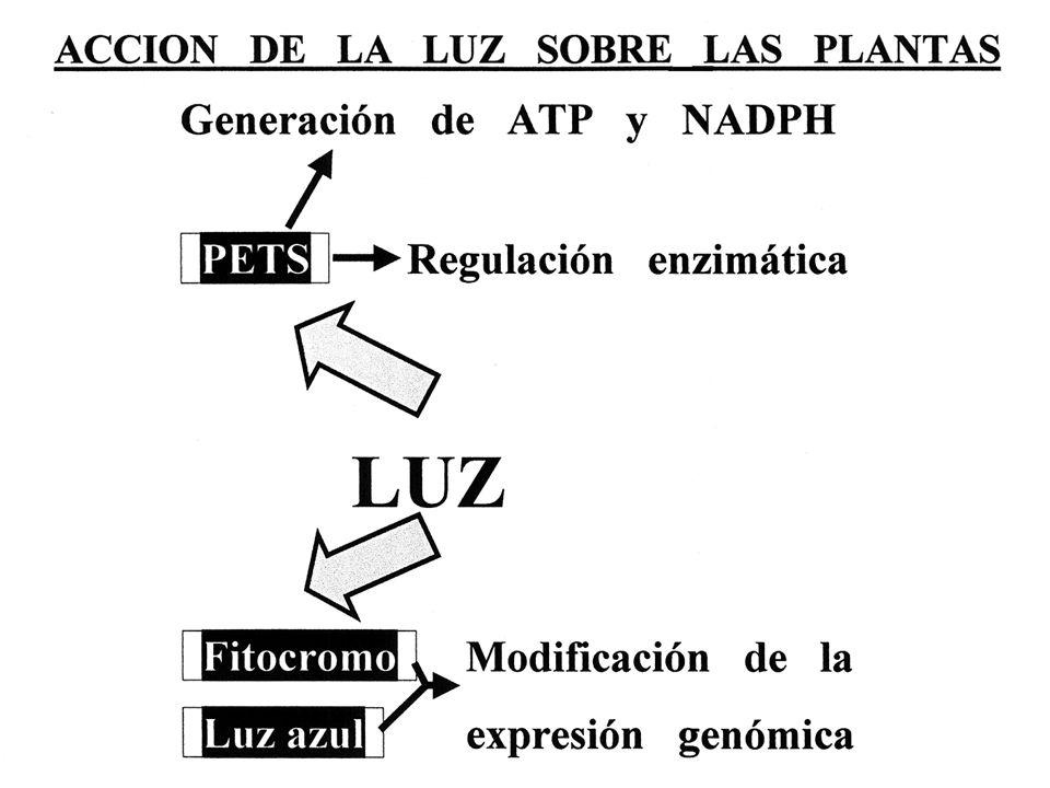 grana pp.