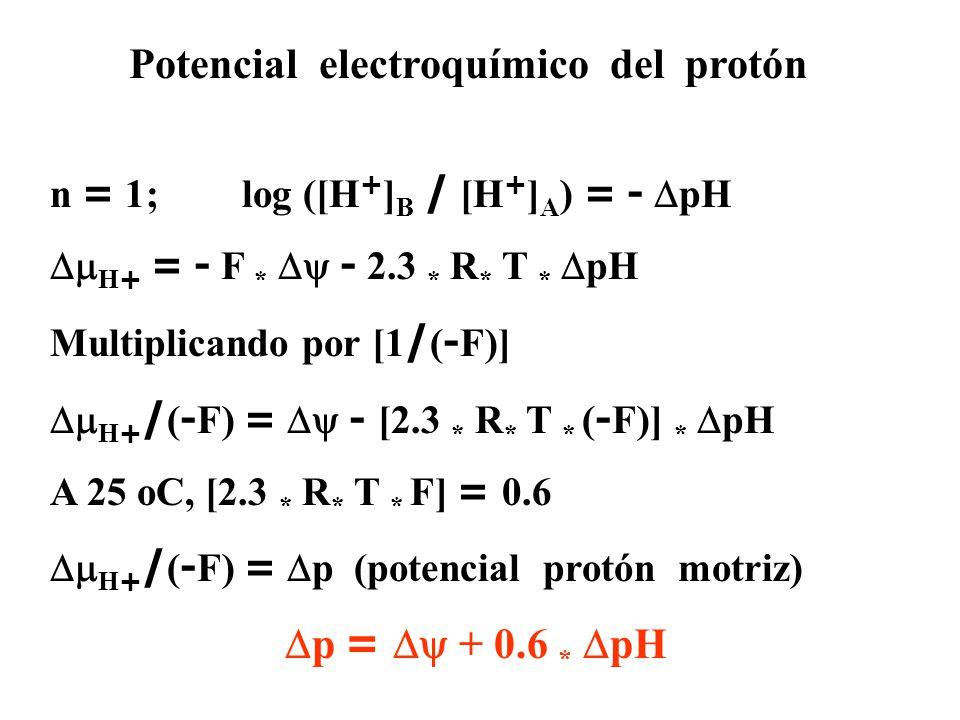 Potencial electroquímico del protón n = 1; log ([H + ] B / [H + ] A ) = -  pH  H + = - F *  - 2.3 * R * T *  pH Multiplicando por [1 / ( - F)]  H + / ( - F) =  - [2.3 * R * T * ( - F)] *  pH A 25 oC, [2.3 * R * T * F] = 0.6  H + / ( - F) =  p (potencial protón motriz)  p =  + 0.6 *  pH