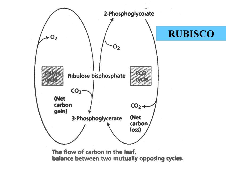 Residencia del DNA que codifica para Rubisco OrganismoLSUSSU Algas verdes, plantas, Euglena cloropl.Núcleo Algas rojas cloropl.cloropl.
