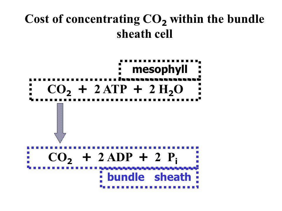(bundle sheath) mesophyll C4 photosynthesis. CO 2 assimilation