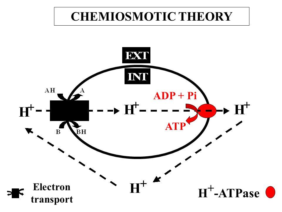 ATP ADP + Pi CHEMIOSMOTIC THEORY Electron transport H + -ATPase