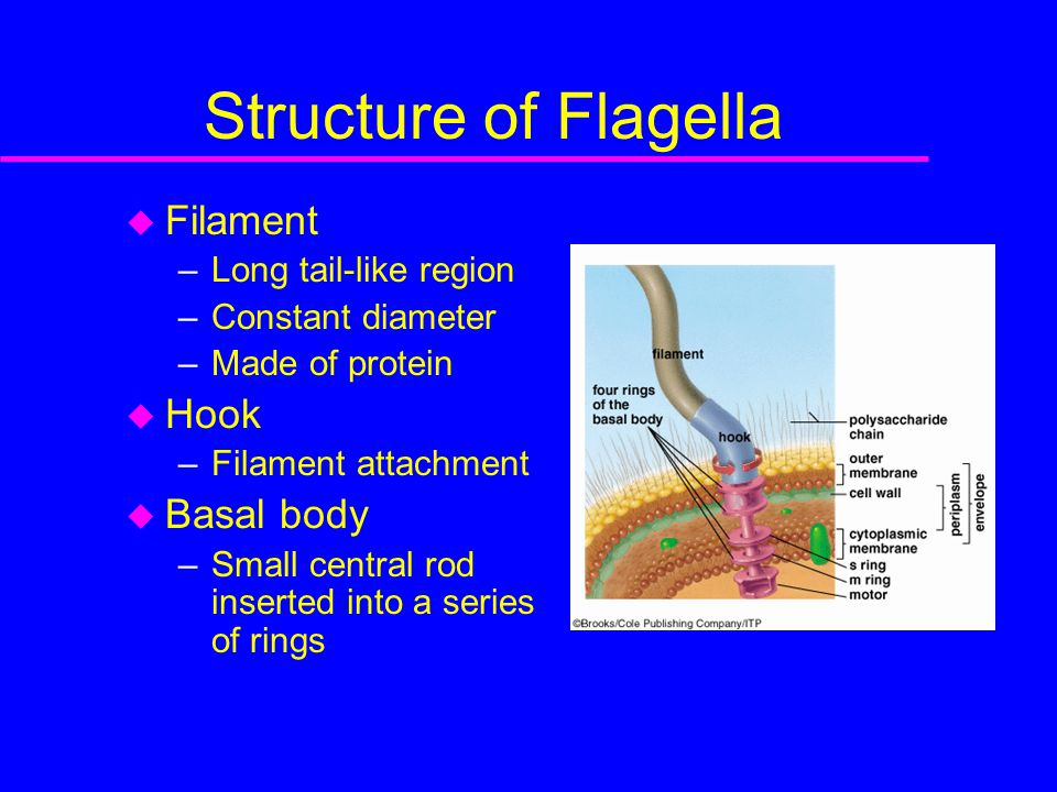 Structure of Flagella  Filament –Long tail-like region –Constant diameter –Made of protein  Hook –Filament attachment  Basal body –Small central rod inserted into a series of rings