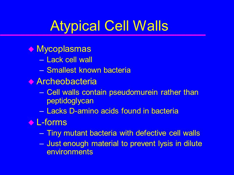 Atypical Cell Walls  Mycoplasmas –Lack cell wall –Smallest known bacteria  Archeobacteria –Cell walls contain pseudomurein rather than peptidoglycan –Lacks D-amino acids found in bacteria  L-forms –Tiny mutant bacteria with defective cell walls –Just enough material to prevent lysis in dilute environments