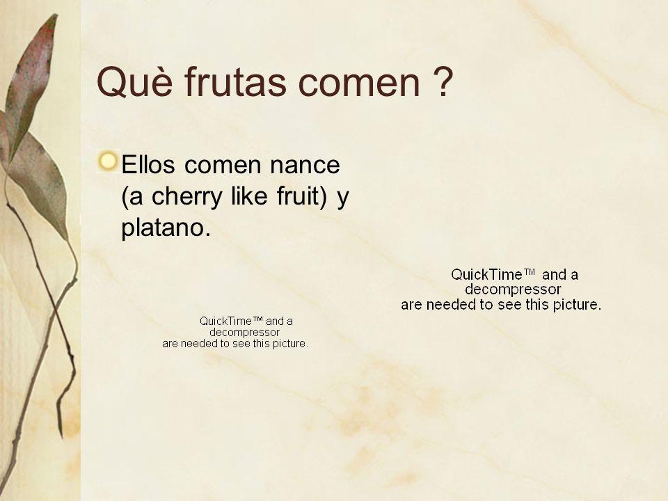 Què frutas comen ? Ellos comen nance (a cherry like fruit) y platano.