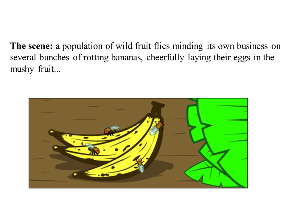 The scene: a population of wild fruit flies minding its own business on several bunches of rotting bananas, cheerfully laying their eggs in the mushy fruit...