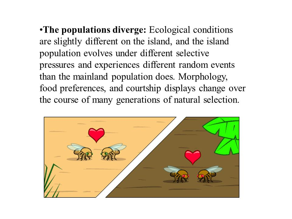 The populations diverge: Ecological conditions are slightly different on the island, and the island population evolves under different selective pressures and experiences different random events than the mainland population does.