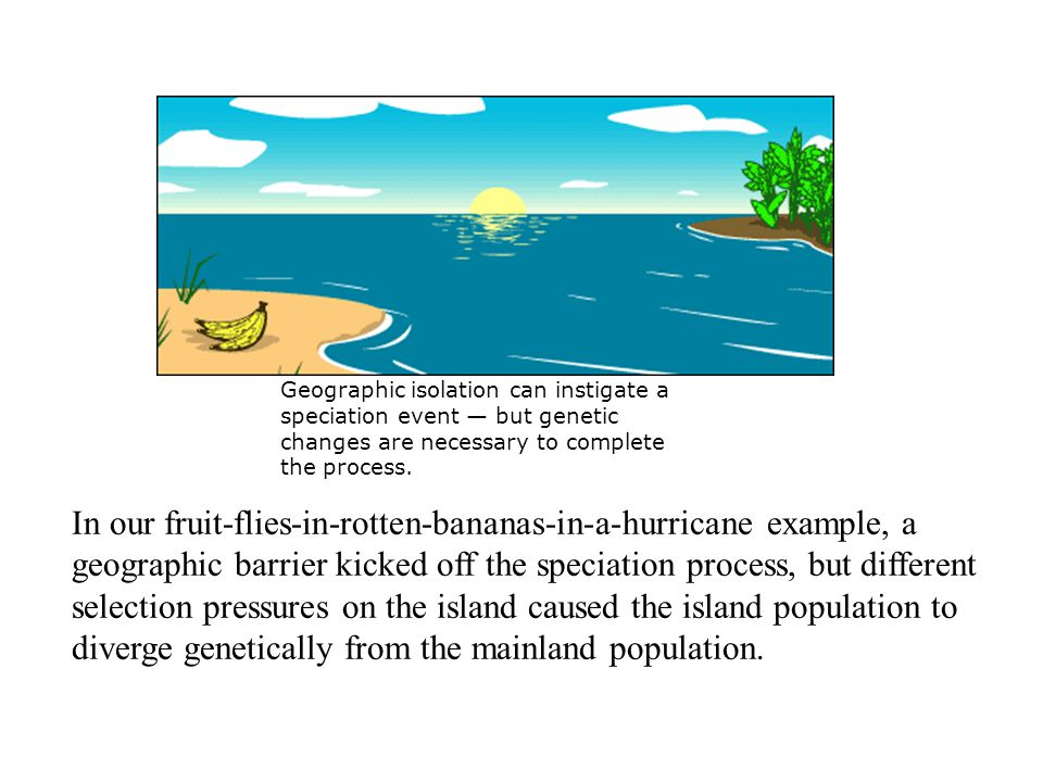 In our fruit-flies-in-rotten-bananas-in-a-hurricane example, a geographic barrier kicked off the speciation process, but different selection pressures on the island caused the island population to diverge genetically from the mainland population.