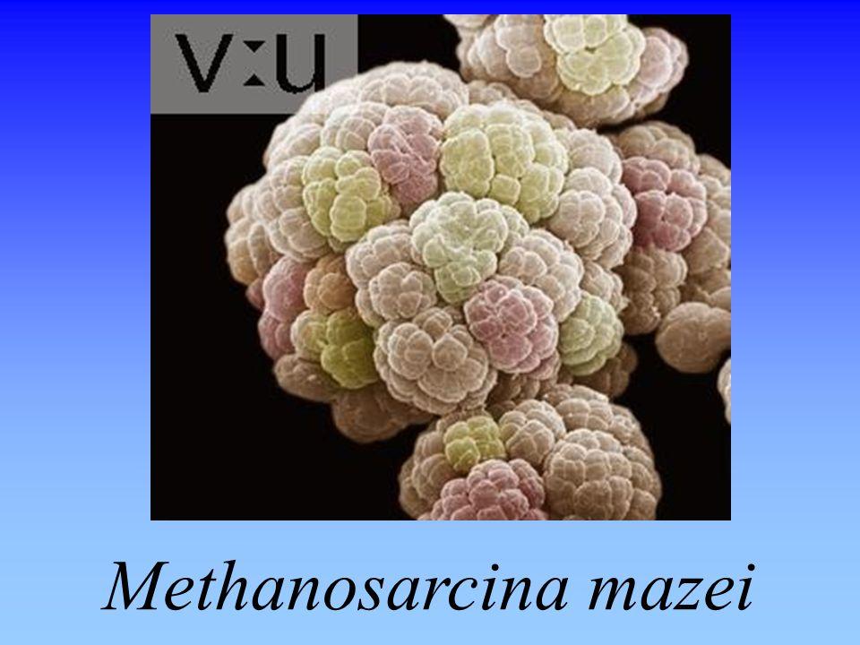 Methanosarcina mazei