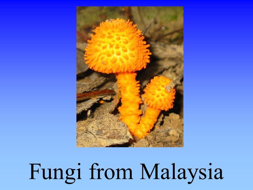 Fungi from Malaysia