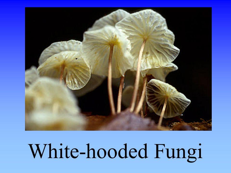 White-hooded Fungi