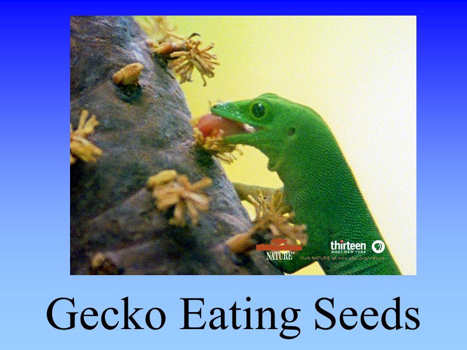 Gecko Eating Seeds