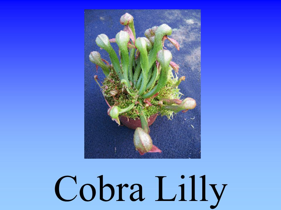 Cobra Lilly