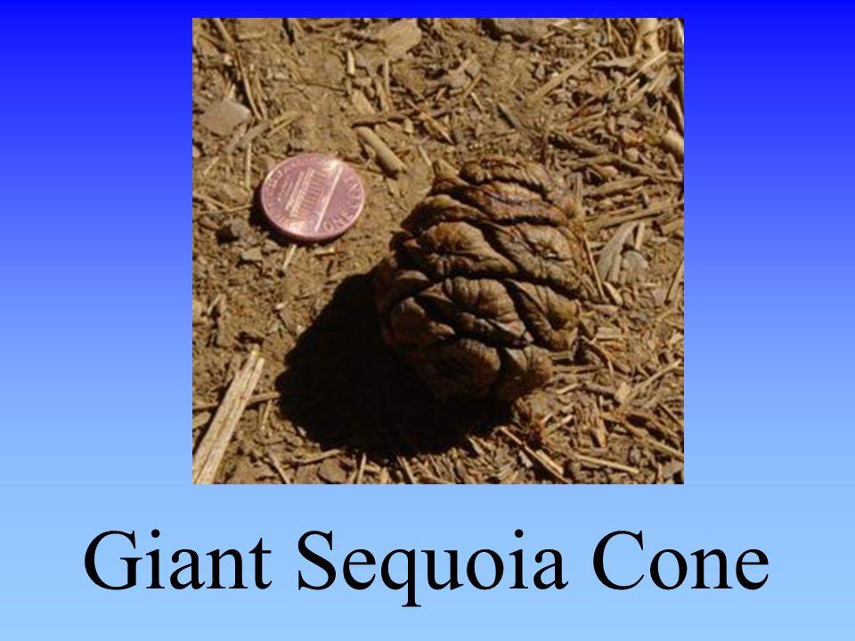 Giant Sequoia Cone