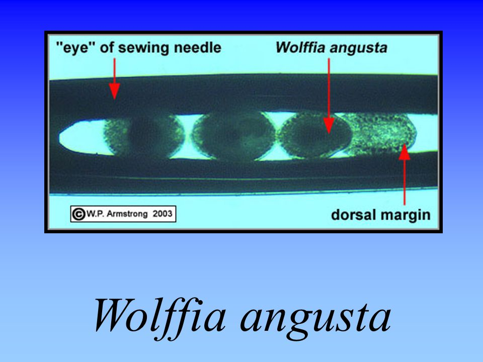Wolffia angusta