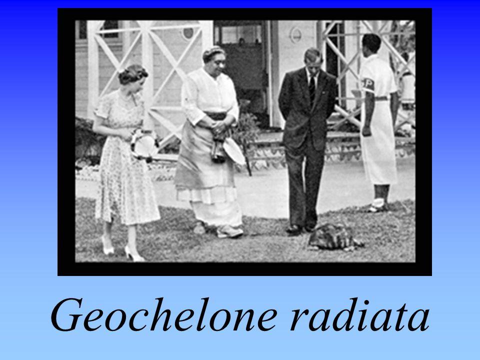 Geochelone radiata