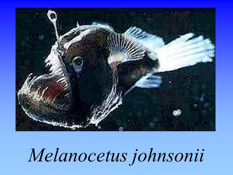 Melanocetus johnsonii