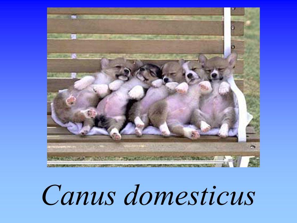 Canus domesticus