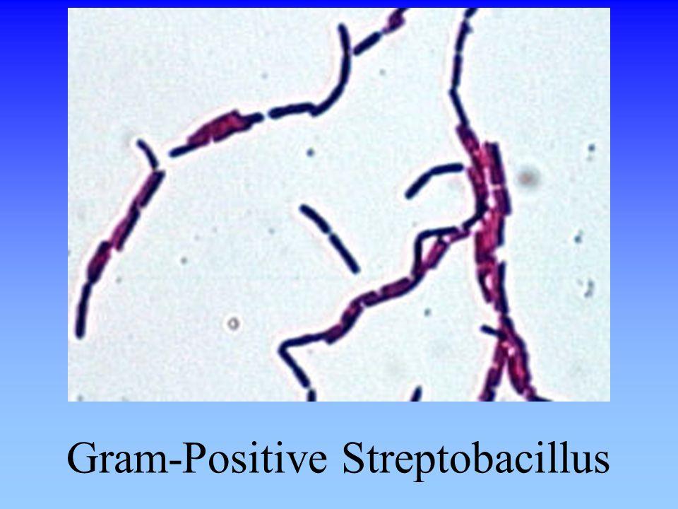 Gram-Positive Streptobacillus