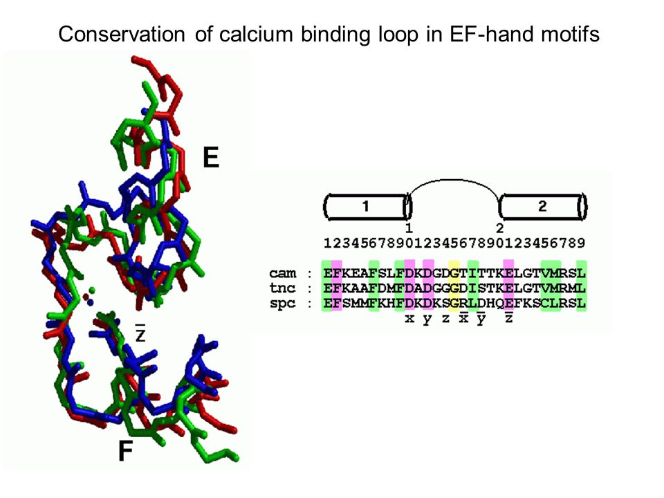 Conservation of calcium binding loop in EF-hand motifs