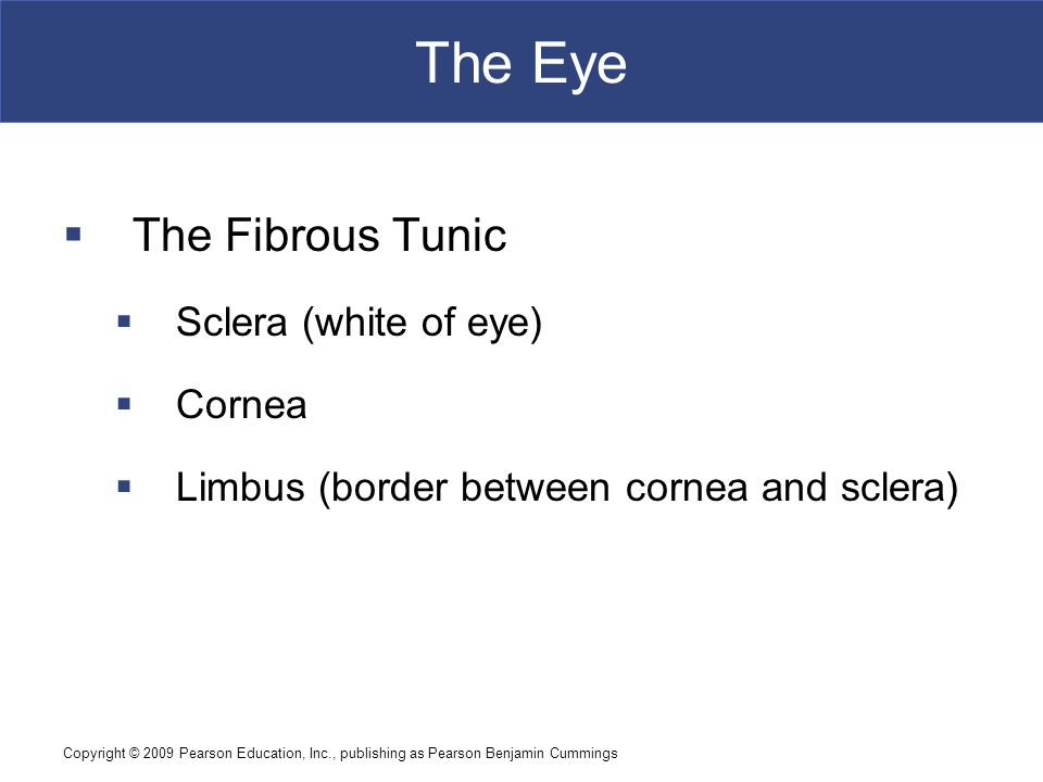 Copyright © 2009 Pearson Education, Inc., publishing as Pearson Benjamin Cummings The Eye  The Fibrous Tunic  Sclera (white of eye)  Cornea  Limbus (border between cornea and sclera)