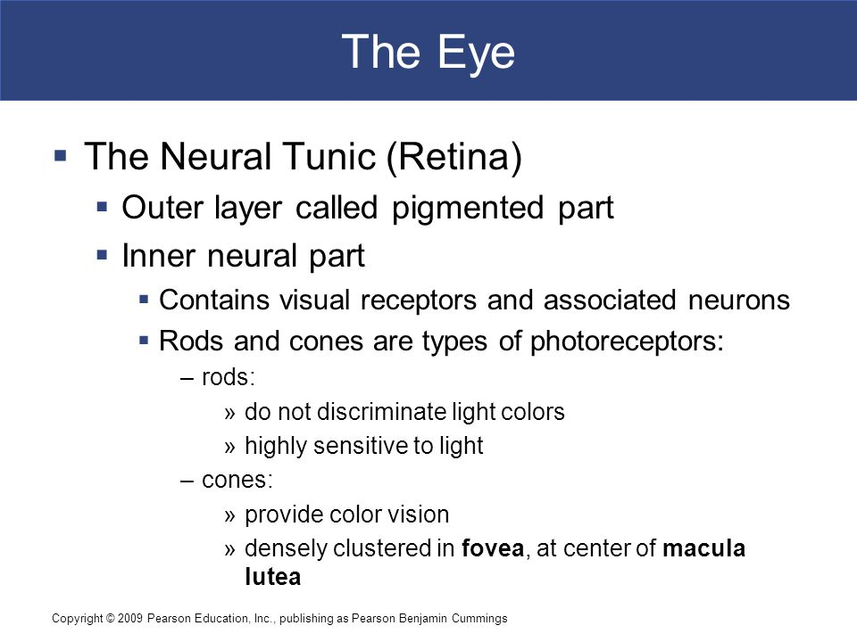 Copyright © 2009 Pearson Education, Inc., publishing as Pearson Benjamin Cummings The Eye  The Neural Tunic (Retina)  Outer layer called pigmented part  Inner neural part  Contains visual receptors and associated neurons  Rods and cones are types of photoreceptors: –rods: »do not discriminate light colors »highly sensitive to light –cones: »provide color vision »densely clustered in fovea, at center of macula lutea