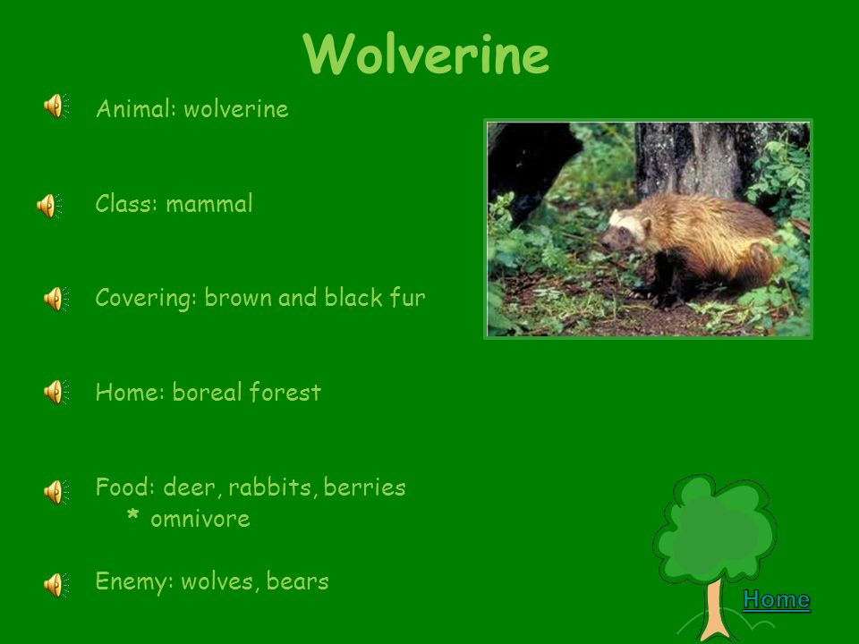 Gray Wolf Animal: gray wolf Class: mammal Covering: gray and brown fur Home: forest Food: moose, mice, bears * carnivore Enemy: none – top of the food chain